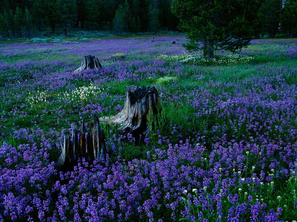 Penstemons, forêt nationale de Tahoe, Nevada, États-Unis
