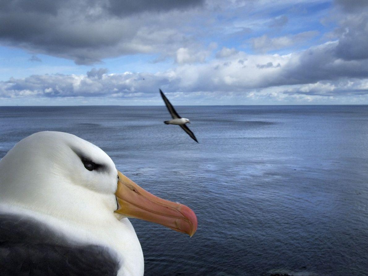 Albatros, îles Malouines