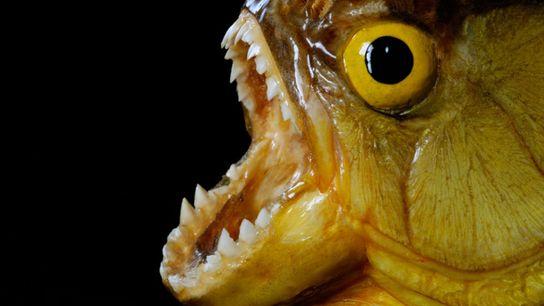 Les piranhas, tout comme les requins, véhiculent des représentations angoissantes. « Piranha », que l'on écrivait ...