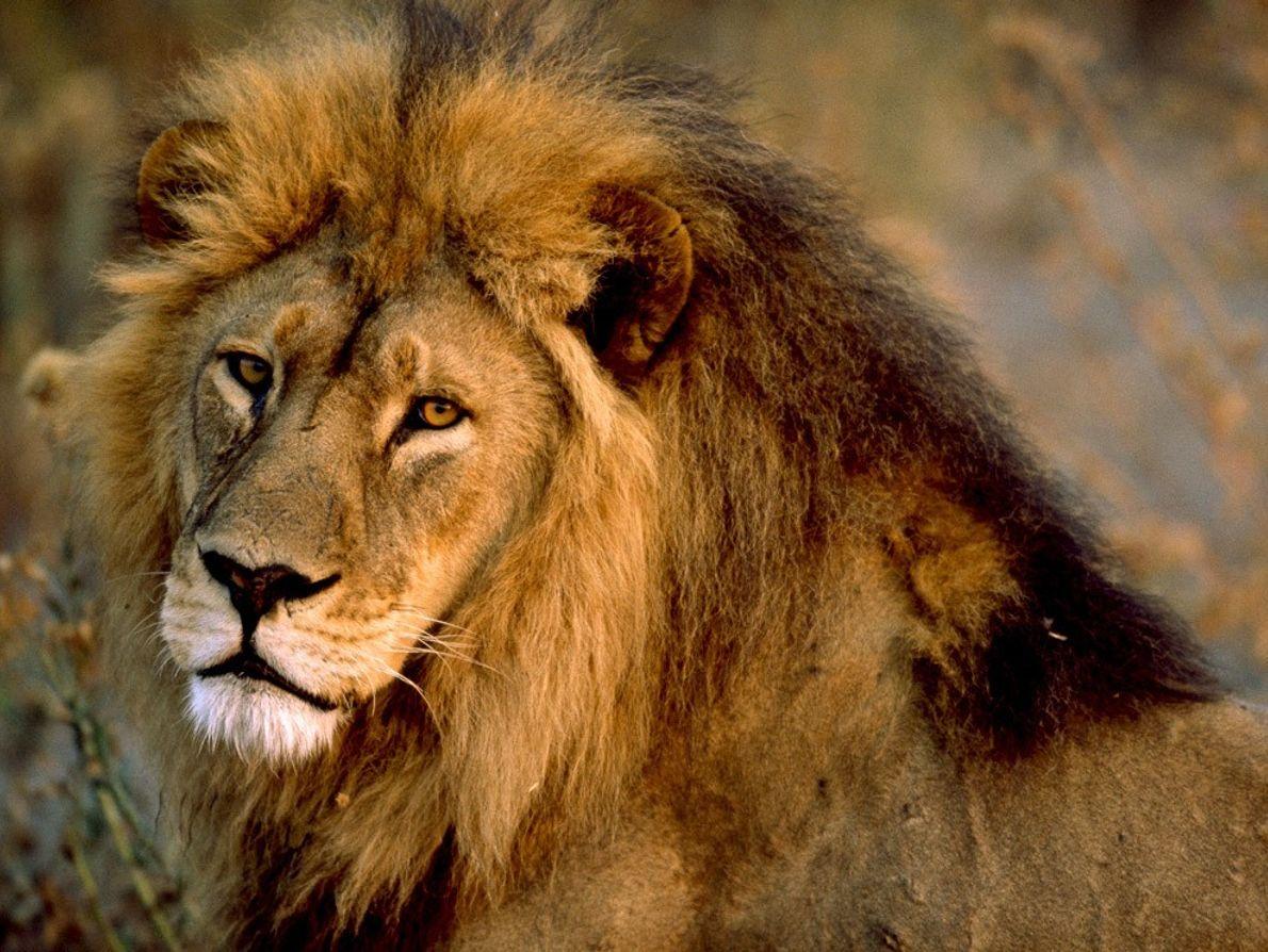 Ardents défenseurs de leurs clans ou de leurs unités familiales, les lions mâles patrouillent un vaste ...