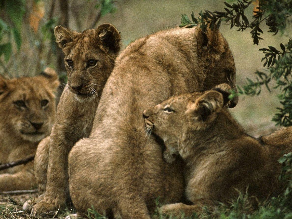 Les lionceaux restent avec leurs mères jusqu'à 3 ans, après quoi les lionceaux femelles restent avec ...