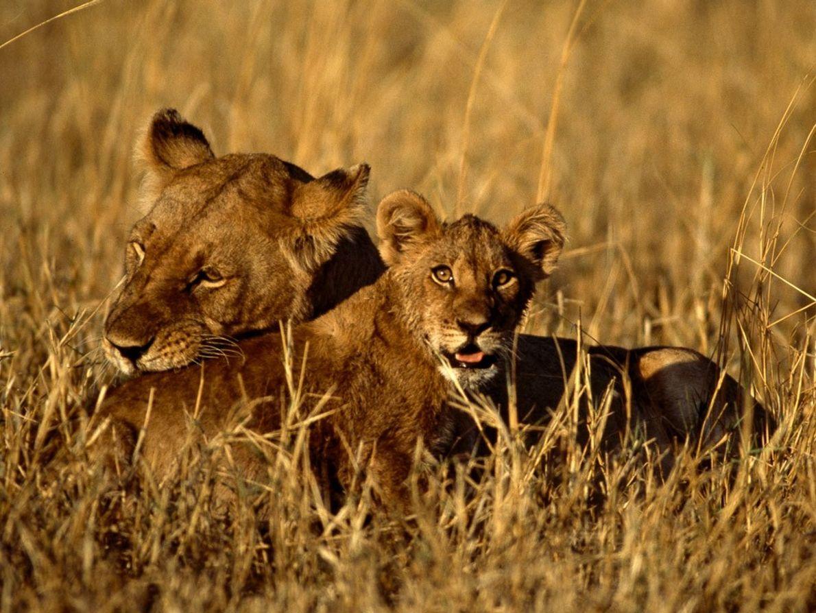 Une mère s'occupe de son lionceau dans les hautes herbes africaines. Les lionceaux se joignent au ...