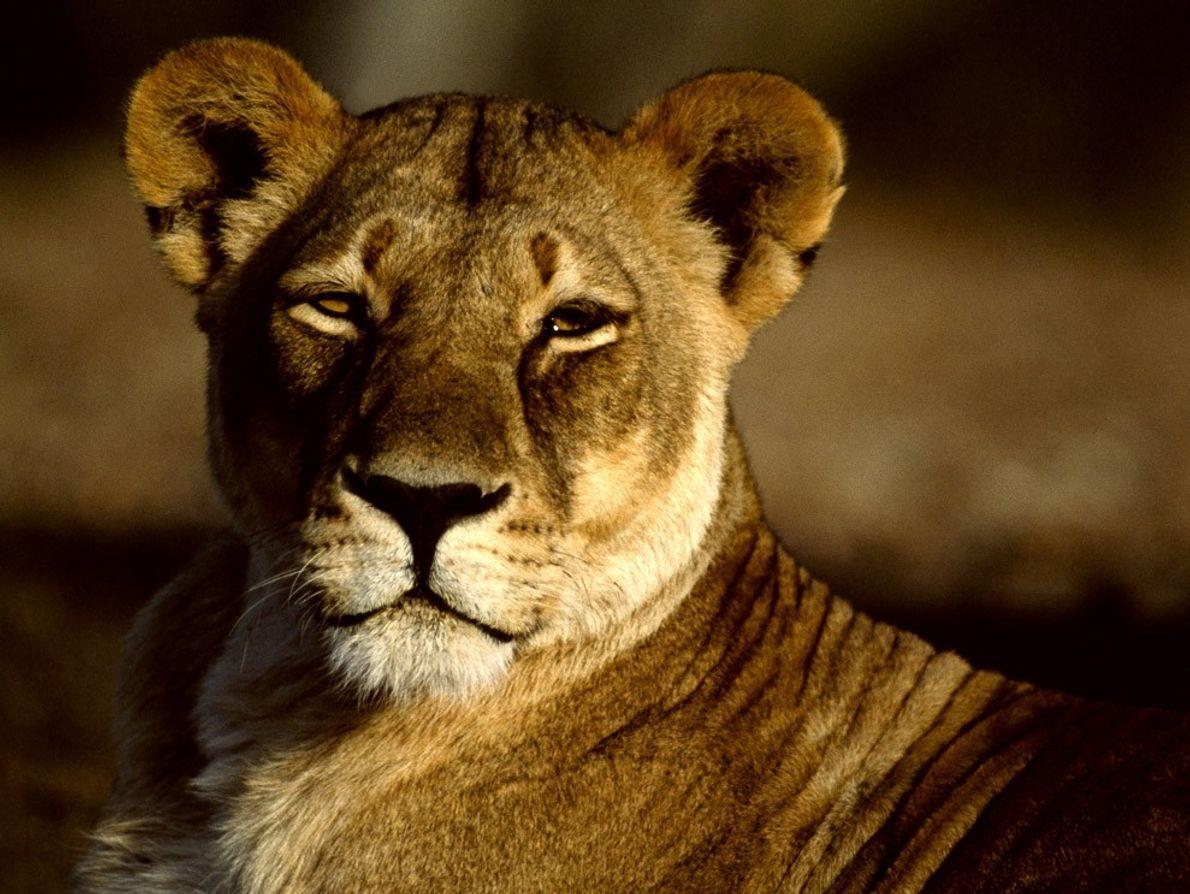 Les lionnes se chargent de la chasse pour leur clan, elles collaborent pour abattre les animaux ...