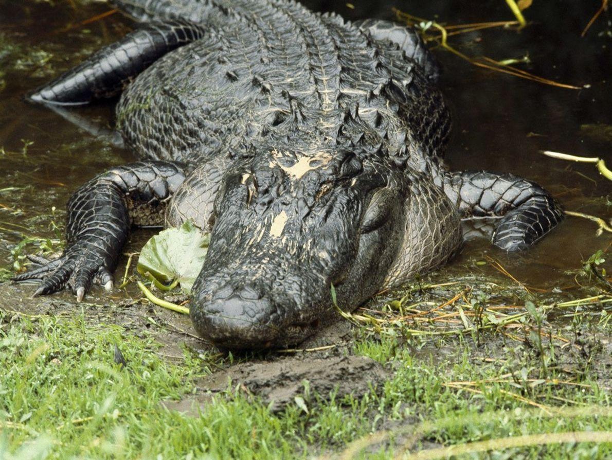 Sauvé in extremis de l'extinction, l'alligator d'Amérique prospère aujourd'hui dans son habitat natif : les marécages ...