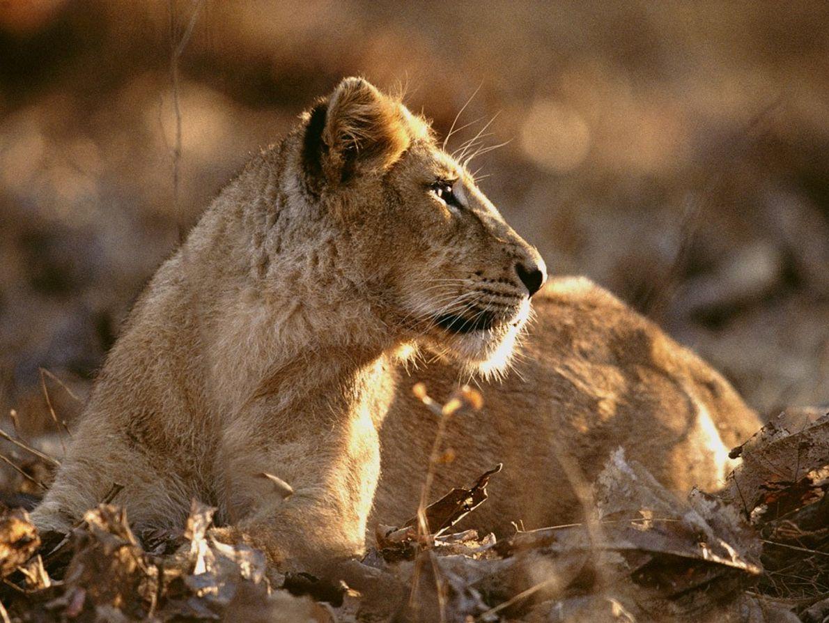Il ne reste à l'état sauvage que 600 lions d'Asie. Une ancienne réserve royale, le parc ...