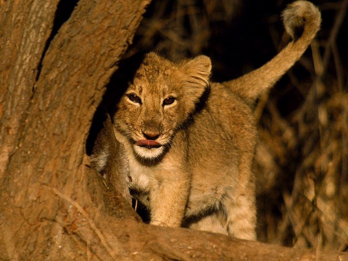 Autrefois établis à travers l'Asie du Sud et le Moyen-Orient les lions d'Asie sont aujourd'hui menacés ...