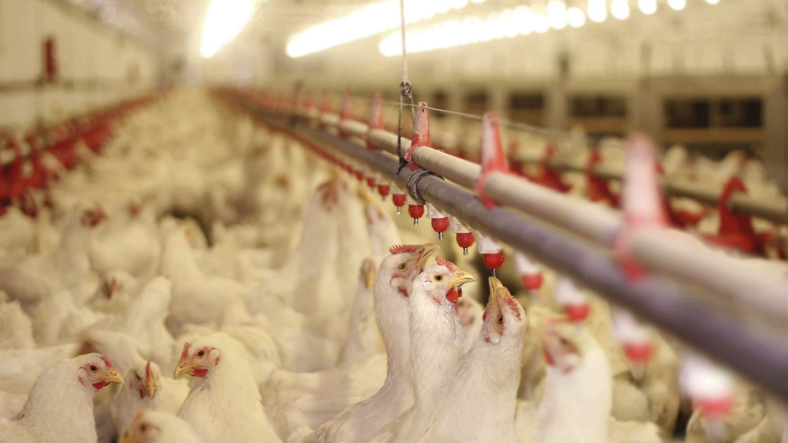 Les épizooties se sont multipliées dans le sillage de l'intensification et de l'industrialisation de l'élevage.