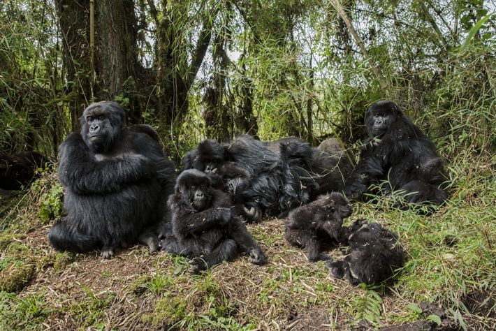 Si Dian Fossey n'avait pas défendu aussi âprement les gorilles et leur habitat, ces singes se ...