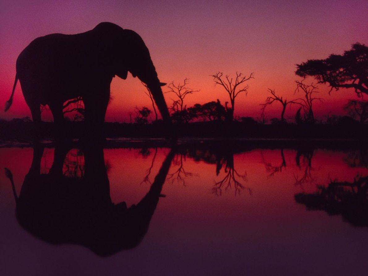 Eléphant d'Afrique, Botswana