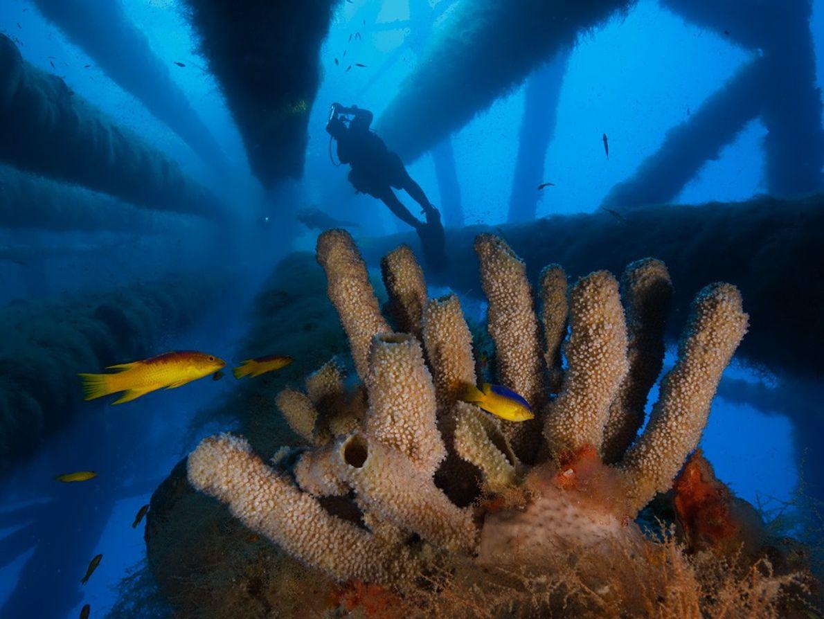Eponges tubulaires, Golfe du Mexique