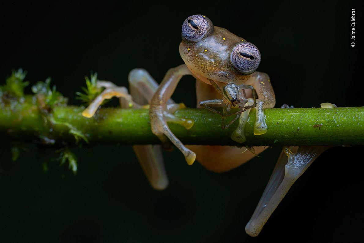 Une grenouille de verre de Manduriacu mange une araignée dans les contreforts des Andes, dans le ...