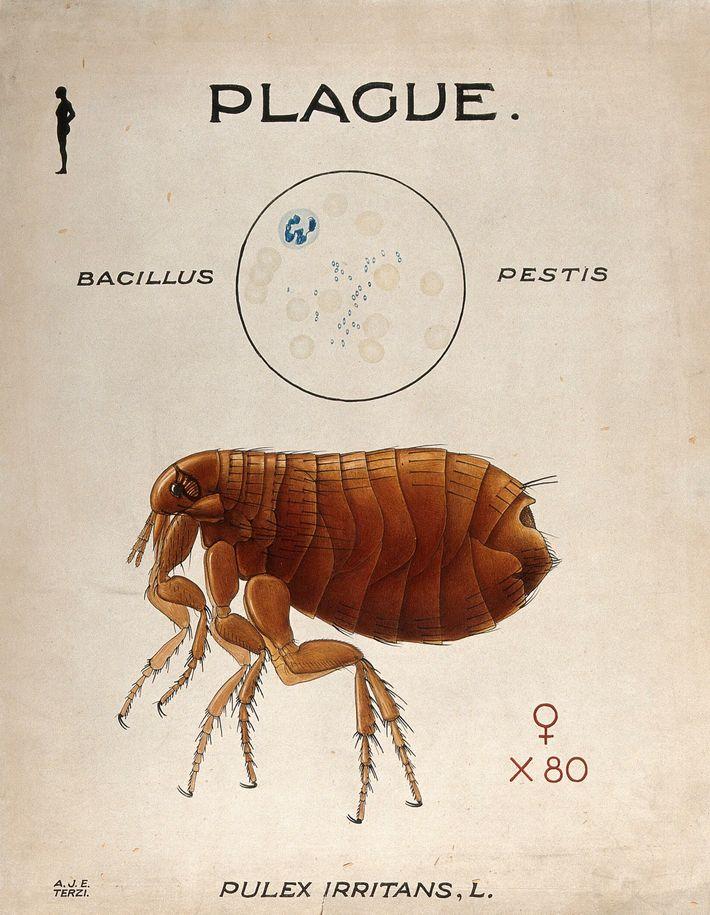 Spores du Bacillus pestis, responsable de la peste, et de son vecteur, la puce humaine (Pulex ...