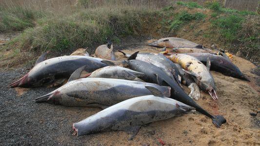 Comment mieux protéger les dauphins des captures accidentelles de pêche ?