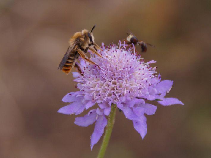 Pollinisateurs sur Scabieuse