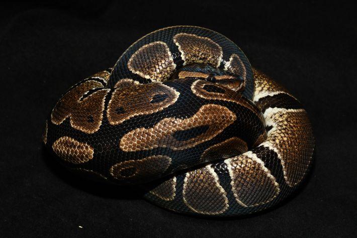 Au Bénin, le Python royal (Phyton regius) a longtemps été vénéré.