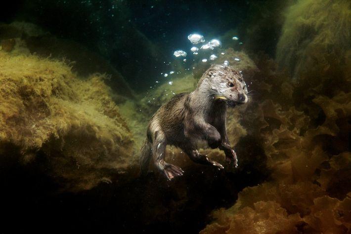 Dans les Shetland, une jeune loutre sort des lits de varech avec un poisson dans la ...
