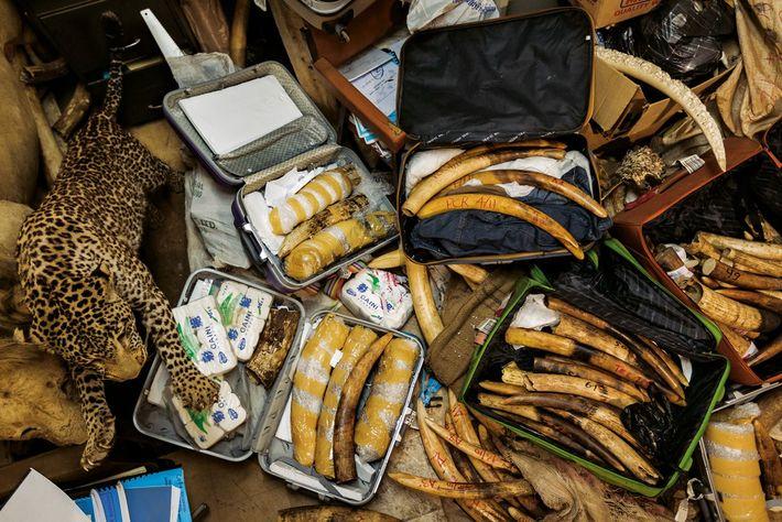 Saisie de trafic d'ivoire