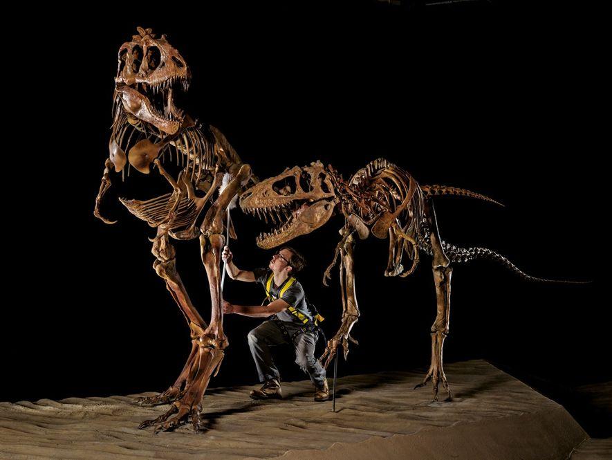 Geoffrey Leonard, du Muséum d'histoire naturelle de l'Utah, époussette un adulte et un jeune Teratophoneus. Le …
