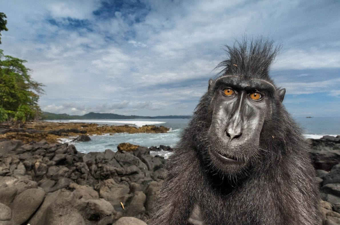 En Indonésie, les macaques des Célèbes, aussi sociables que photogéniques, sont souvent capturés comme animaux domestiques ...