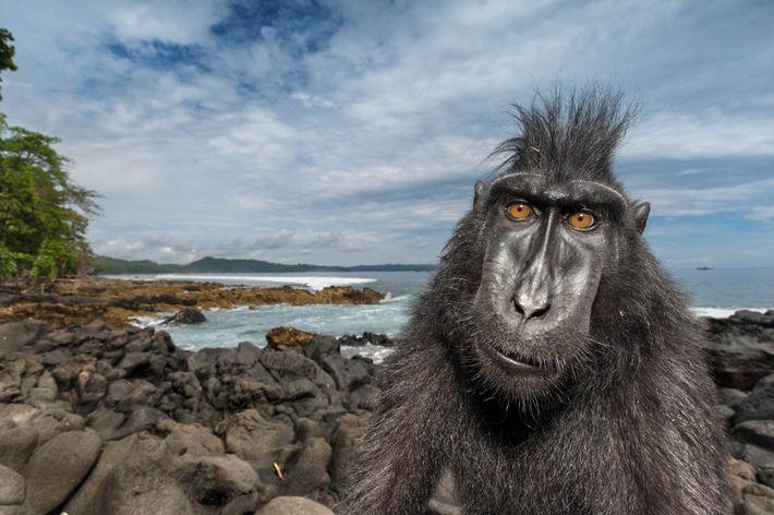 Dans une réserve naturelle située sur l'île de Sulawesi, en Indonésie, un macaque nègre se promène ...