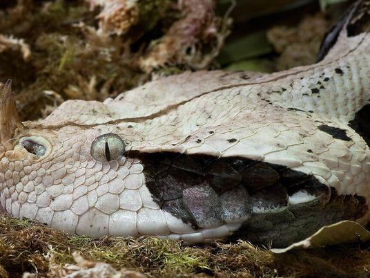 La vipère du Gabon, plus grosse espèce de vipère au monde
