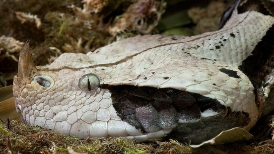 Les vipères sont des serpents solénoglyphes : à l'ouverture de leur mâchoire, deux crochets pivotants alors ...