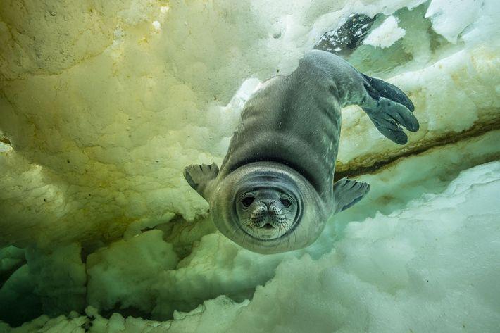Un jeune phoque de Weddell curieux, âgé seulement de quelques semaines, s'approche de l'appareil photo. D'après ...