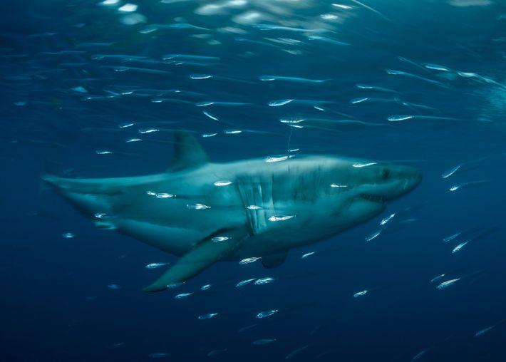 Un grand requin blanc navigue dans la réserve de la biosphère de l'île Guadalupe, située à ...