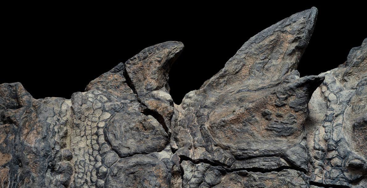 Les plaques, signe caractéristique des dinosaures cuirassés, disparaissent souvent lors de la décomposition, un sort dont ...