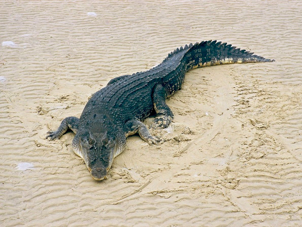 Plus grand crocodilien au monde, le crocodile marin est un excellent nageur régulièrement aperçu en pleine ...