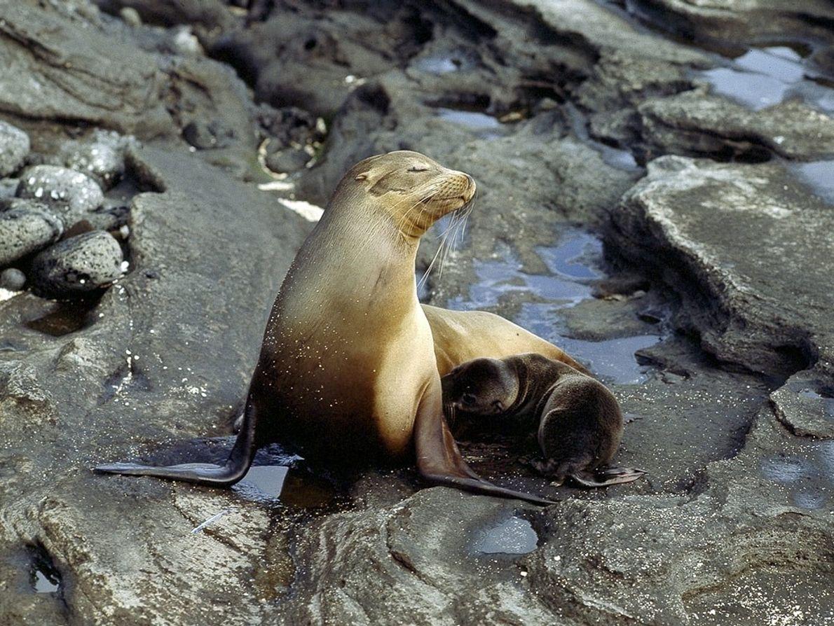 Une large population d'otaries de Californie s'est établie sur les îles Galápagos. Ce groupe est catégorisé ...