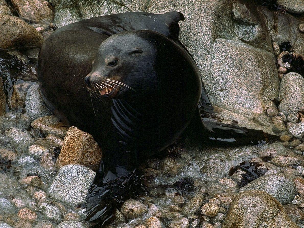 Elles prennent de vitesse n'importe quel autre phoque ou otarie, les otaries de Californie peuvent être ...