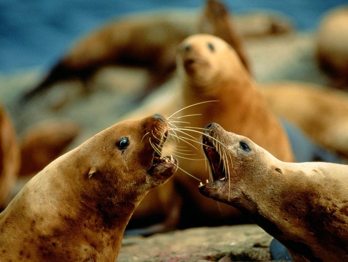 « Ces animaux sont toujours en train de se disputer, » écrit le photographe Joel Sartore ...