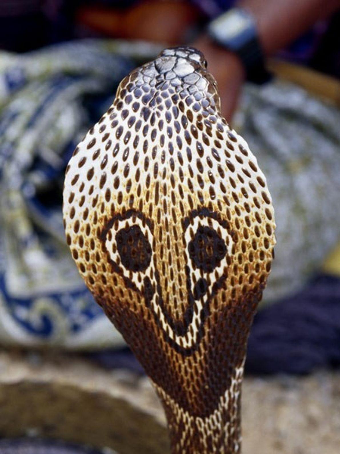 Le serpent à lunettes doit son nom au motif dessiné sur sa coiffe déployée (voir ci-dessus). ...