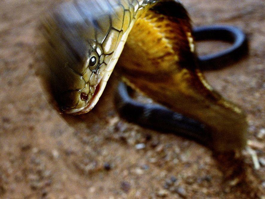 De manière générale, le cobra royal évite l'Homme, mais lorsqu'il est pris au piège, il peut ...