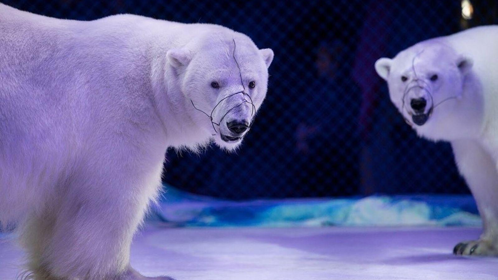 Deux ours polaires se produisent à Kazan, en Russie. Cette image est un exemple rare d'ours ...