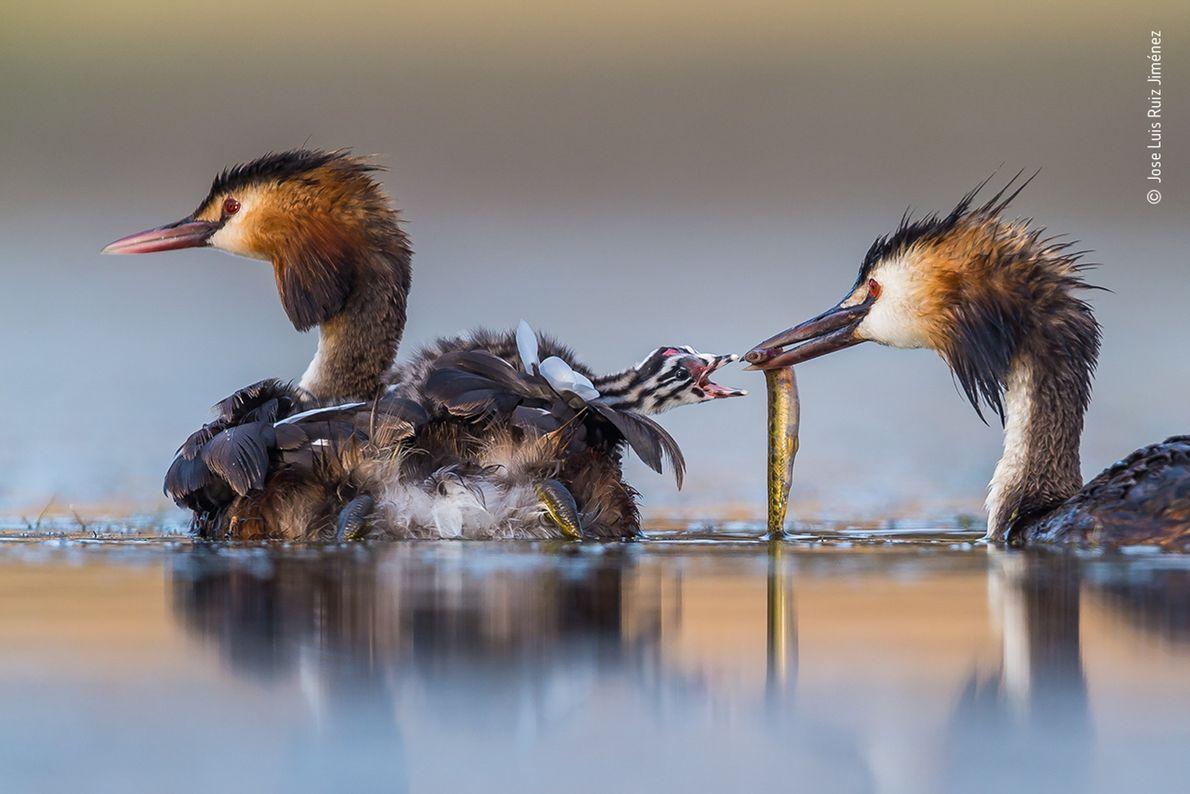 Jose Luis Ruiz Jiménez a réalisé ce cliché d'une famille de grèbes huppés dans un lagon de l'ouest de ...