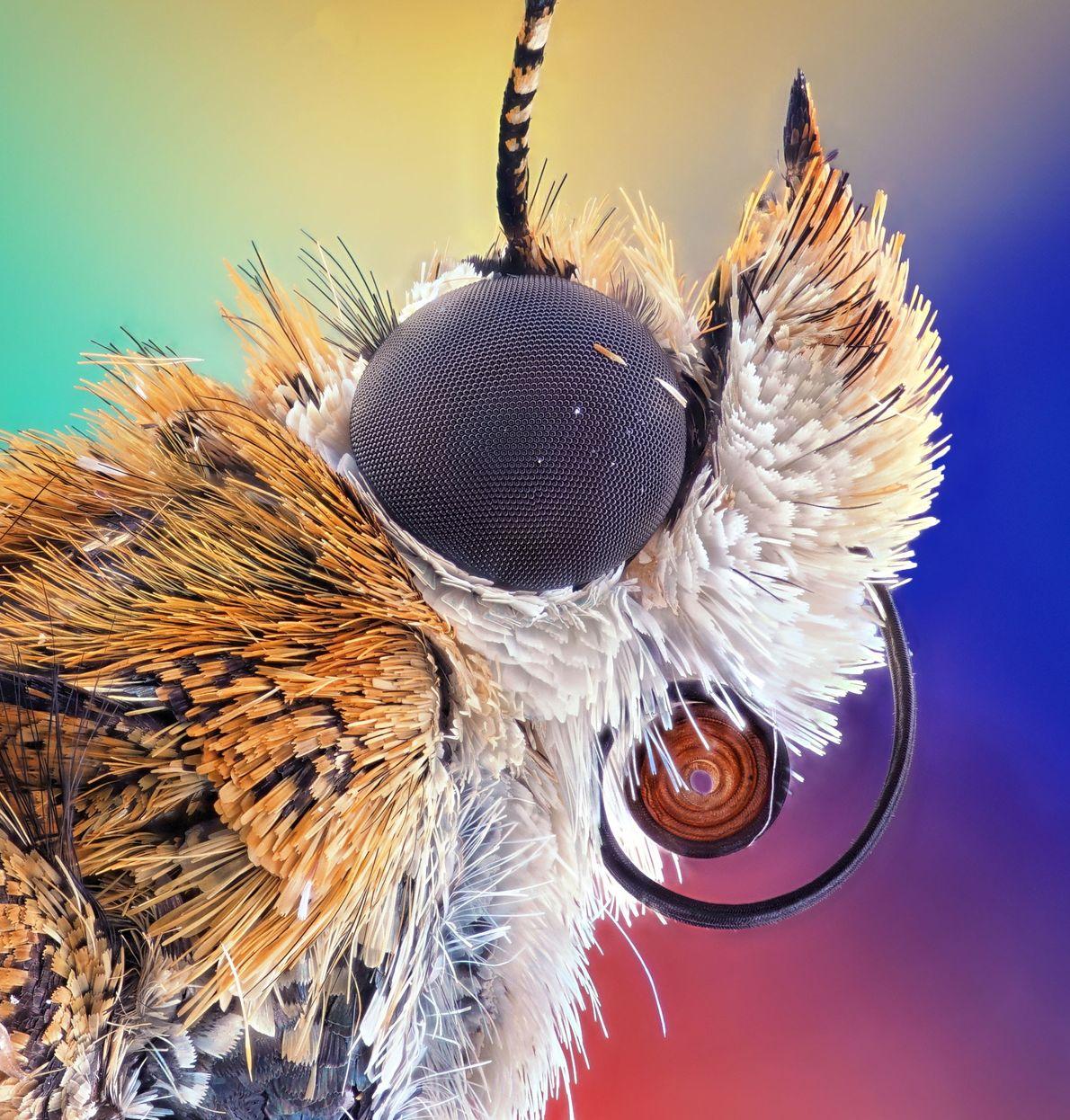 Les yeux de la plupart des papillons de nuit sont recouverts d'une nanostructure qui absorbe la ...