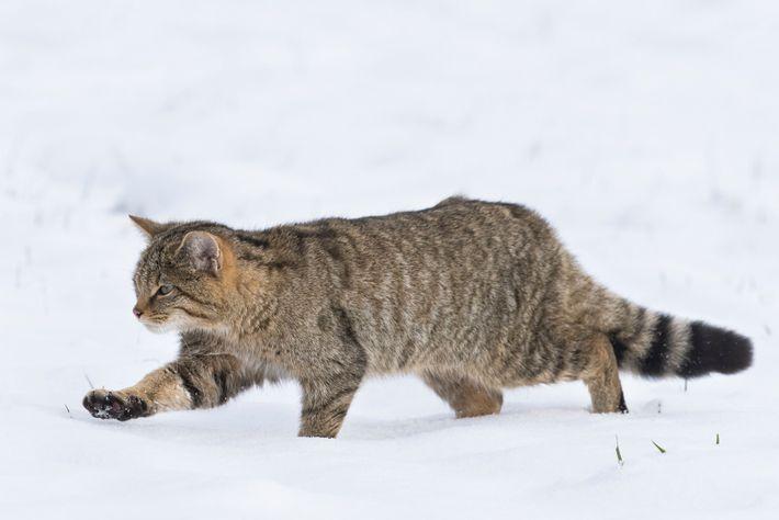 Aussi discret que peu connu du grand public, le chat forestier connaît une phase d'expansion en ...