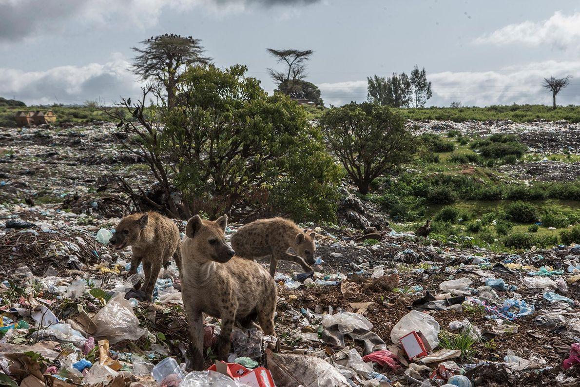 À Harar, des hyènes fouillent une décharge à la recherche de déchets.