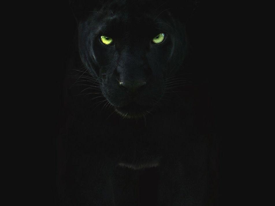 L'ombre, alliée la plus fidèle de la panthère noire