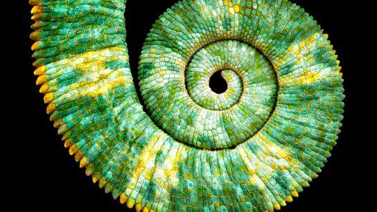 Vue étroite d'une queue de caméléon casqué (Chamaeleo calyptratus) formant la courbe en spirale rappelant la ...