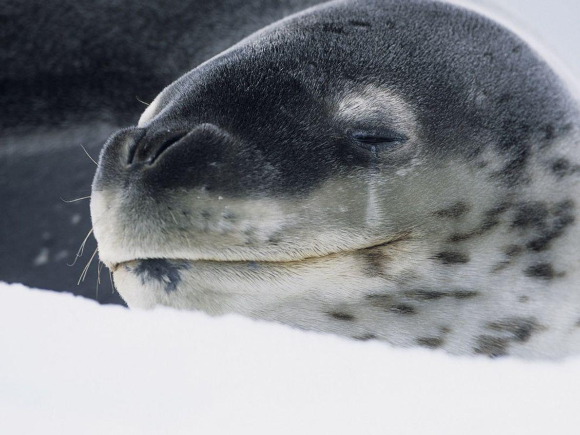 Baptisés ainsi en raison de leur robe tachetée, les léopards de mer sont l'un des principaux ...