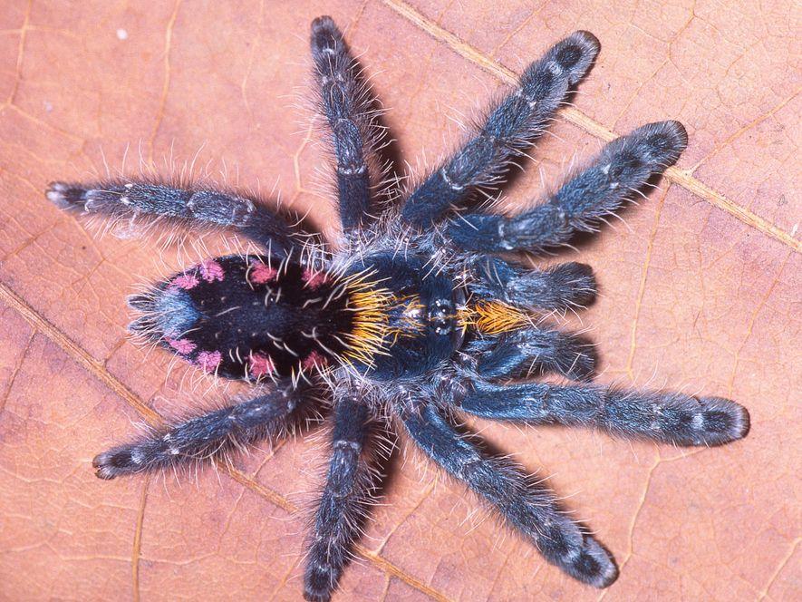 Avec ses allures d'araignée maquillée, cette nouvelle tarentule, Typhochlaena costae, faire partie des neuf espèces rares …