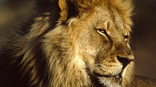 Nos plus belles photos de lions