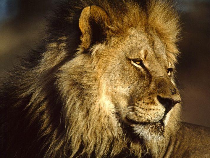Un lion mâle adulte se repose sous le soleil d'Afrique. Seuls les mâles adultes ont une ...