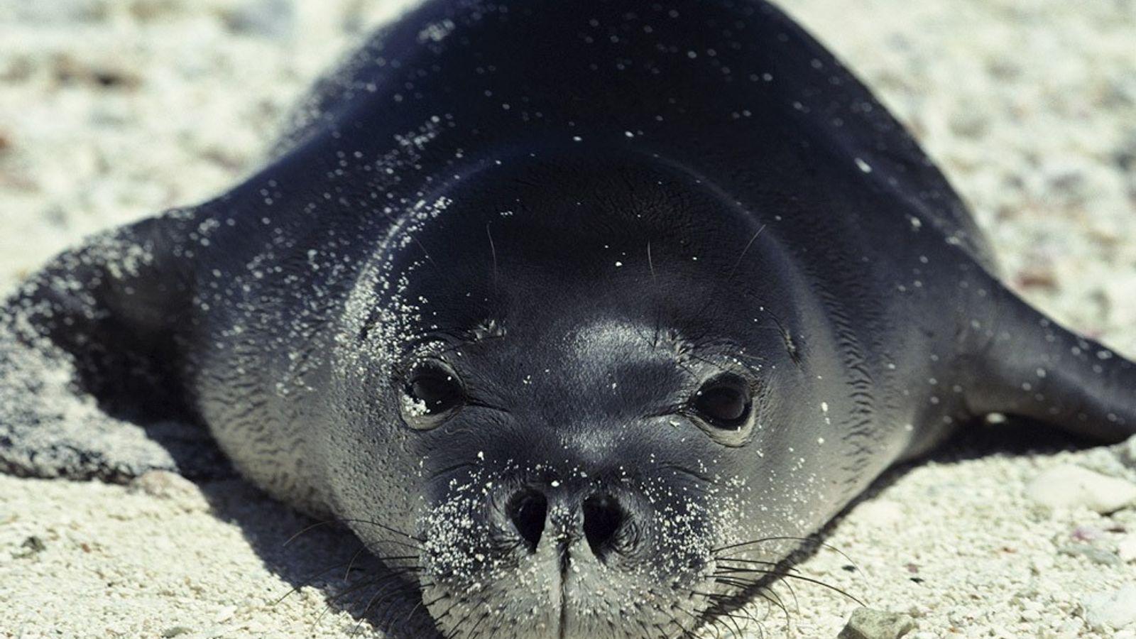 Alors que la plupart des phoques s'installent dans des climats plus froids, le phoque moine d'Hawaï ...