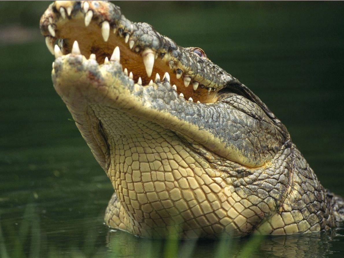 Les crocodiles du Nil sont les plus grands crocodiliens d'Afrique avec une taille pouvant atteindre les ...