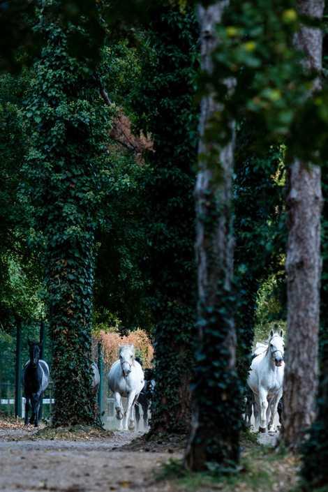 Chaque matin, les chevaux de Lipica, le plus vieux haras d'Europe, se lancent dans une course ...