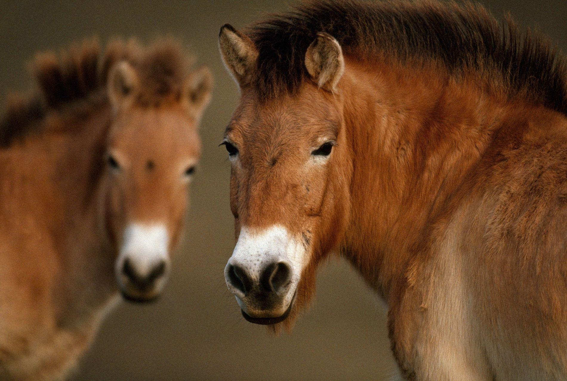Deux chevaux de Przewalski, espèce que l'on considérait autrefois comme éteinte à l'état sauvage.